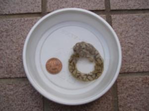 谷山川上流カスミ卵のう2011.3.28